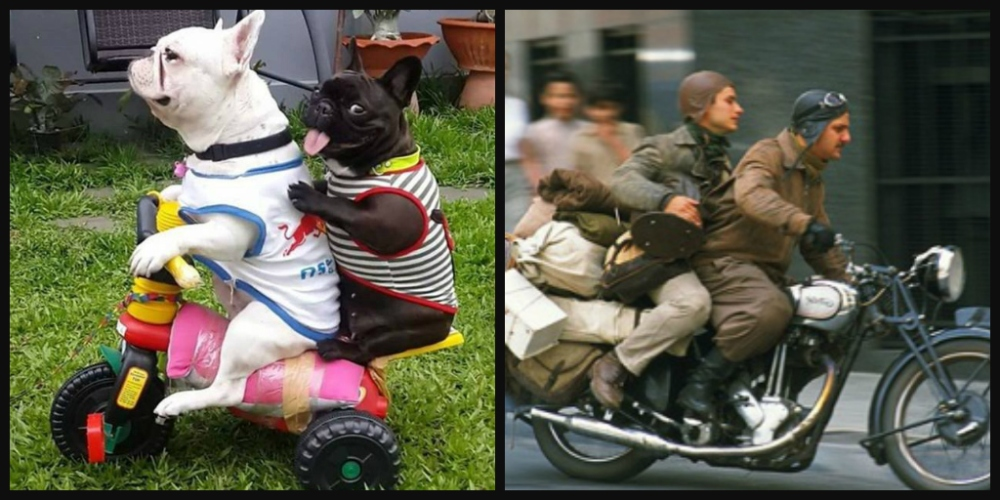 122_french_bulldogs_motorcycle_diaries